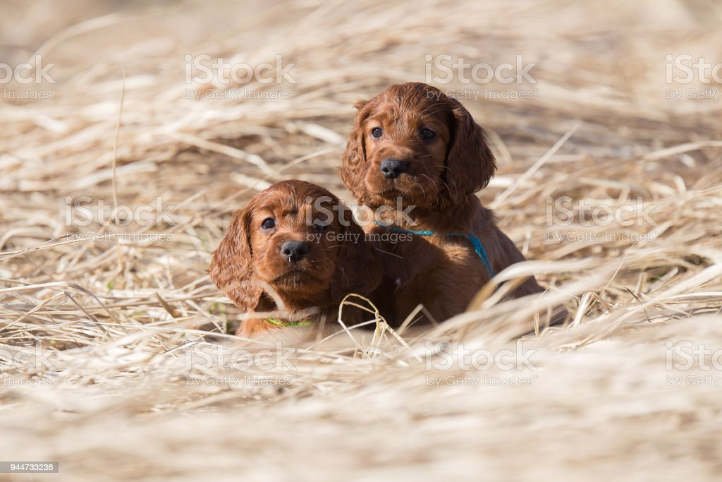 Two lovely puppies stock photo