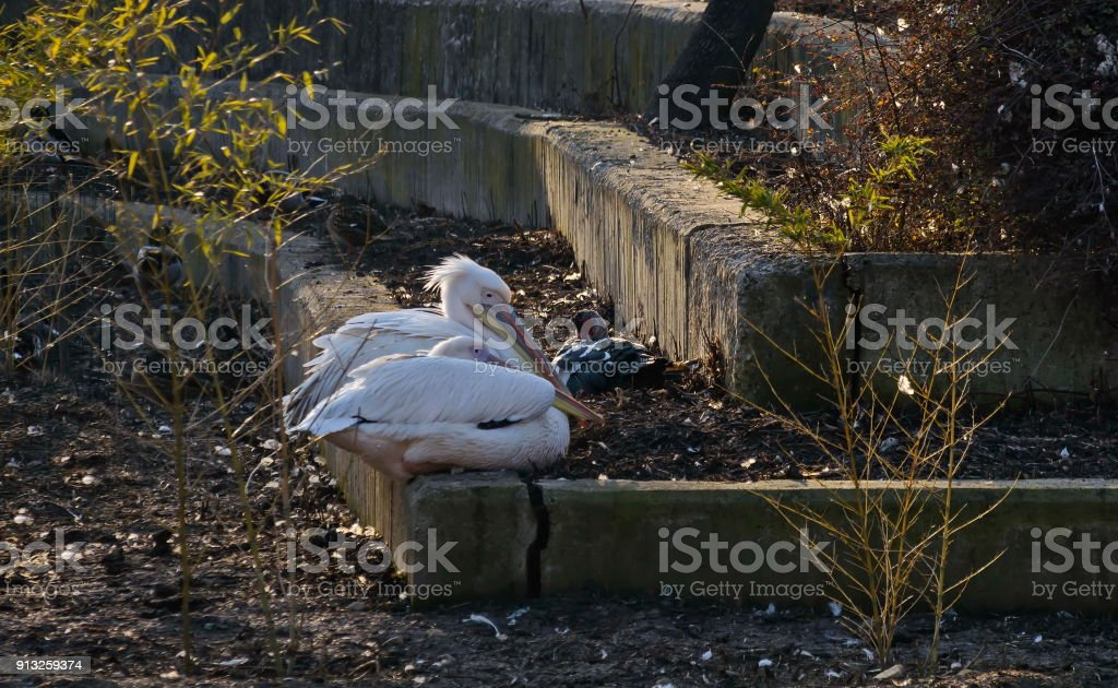 Two lovers White Pelicans or Pelecanus onocrotalus rest  at shore stock photo
