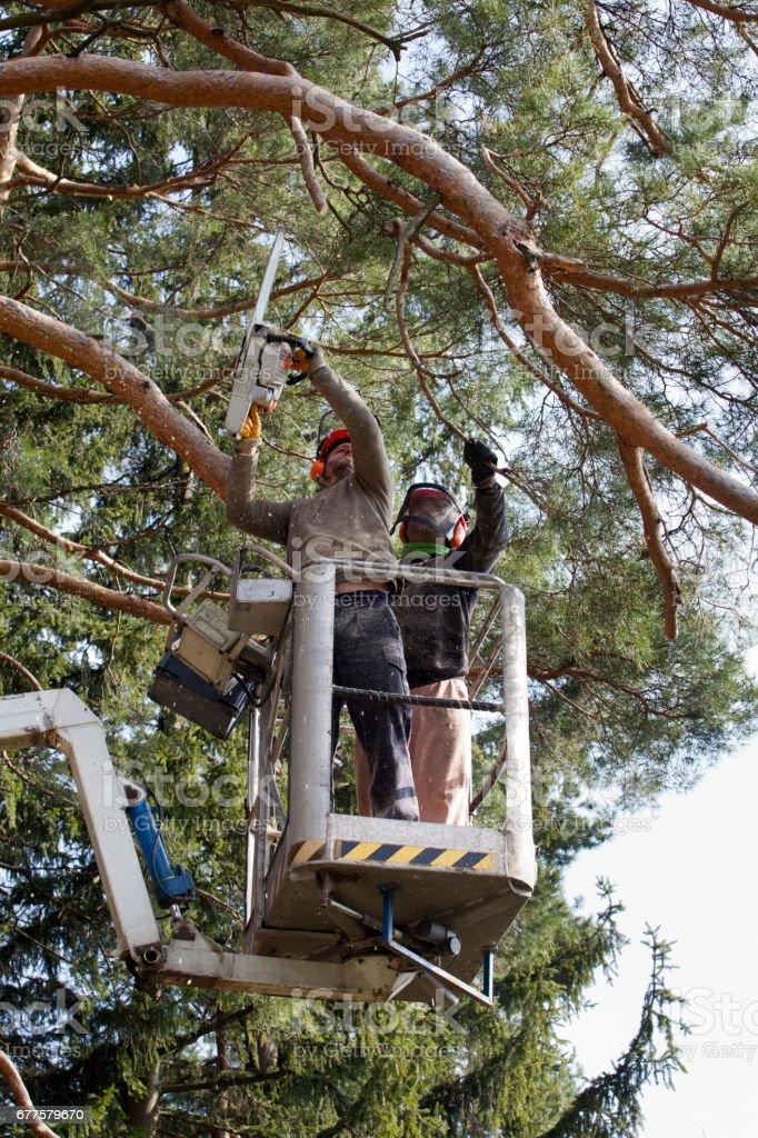 Two lumberjacks cut down a tree on the platform royalty-free stock photo