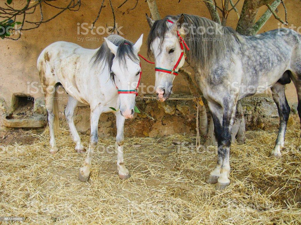 Two Lusitanos Horses stock photo
