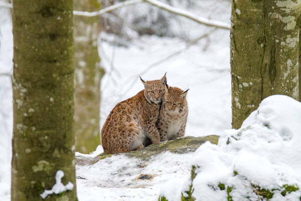 Two Lynx sitting in the snow stock photo
