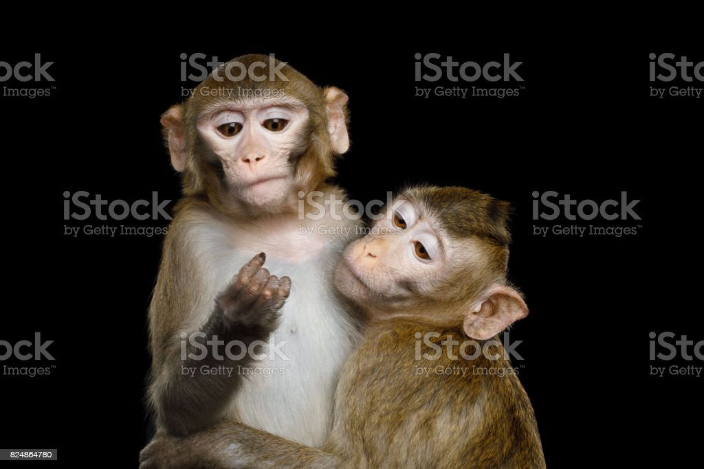 Two macaque on Black stock photo