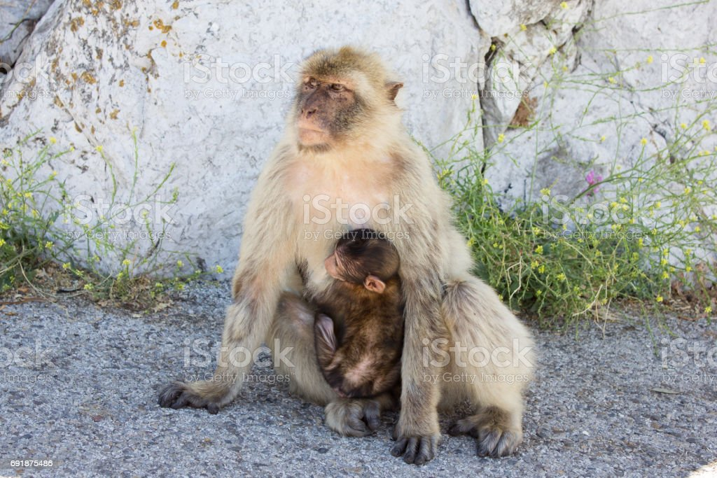 Dos macacos en la roca de Gibraltar - foto de stock