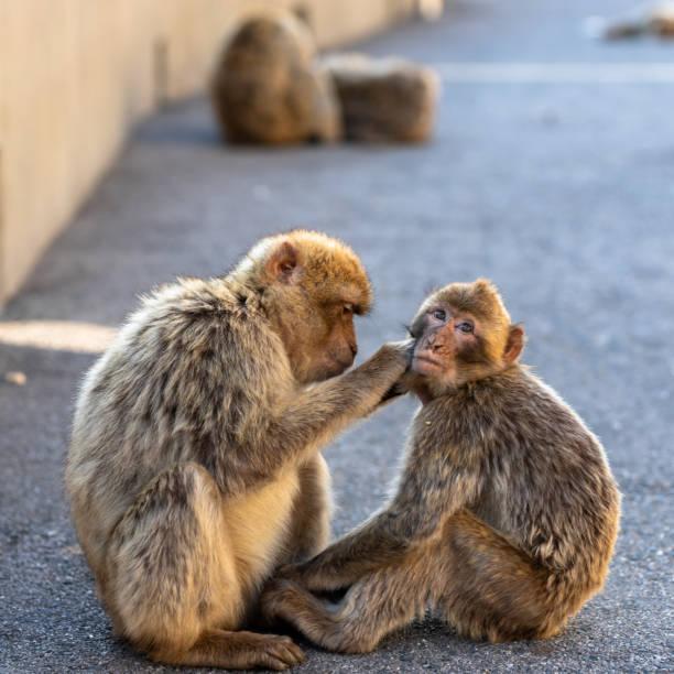 deux macaques lissage. - singe magot photos et images de collection