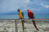 Two Macaw parrots are sitting on the iron fence against  the caribbean sea.