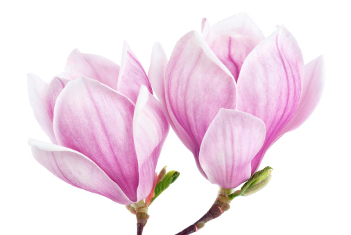 Two magnolia blossoms isolated on white