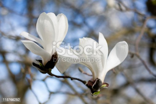 two magnolia flowers, Kew Gardens, London