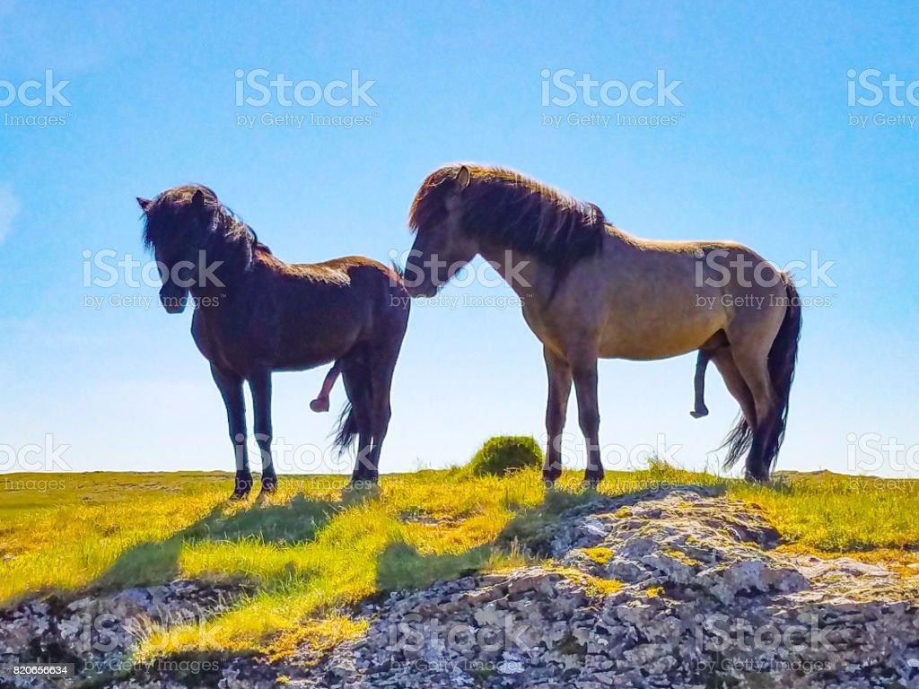 Zwei e-Mail-Pferd mit großen Penisse stehen – Foto