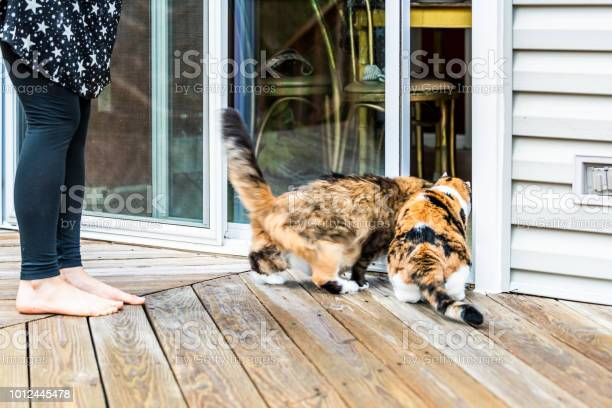 Two maine coon and calico cats running rushing inside to house home picture id1012445478?b=1&k=6&m=1012445478&s=612x612&h=kdc 9rnv12k9rndevulc jfbevket0jlenauvq5hoey=