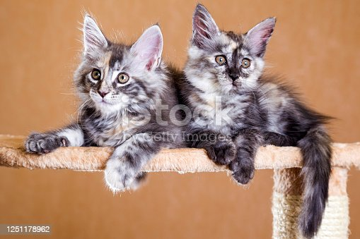 two cute kitten maine coon. Grey colour