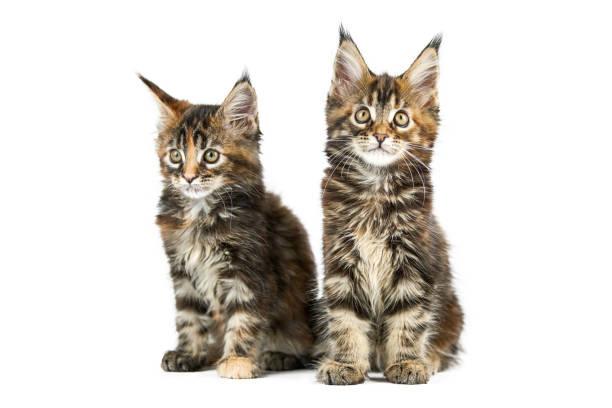 Two maine coon kittens isolated picture id1270823857?b=1&k=6&m=1270823857&s=612x612&w=0&h=m4qxkibvm274rdcjiobxyeemhmubvjeozbdtzzxorx4=