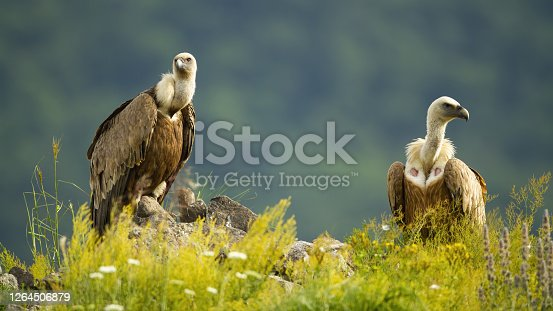 Two majestic griffon vultures, gyps fulvus, sitting on rocks in summer. Magnificent pair of bird looking on stone in sunlight. Wild bird of prey with long neck observing in wilderness.