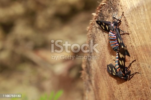 istock Two male and female Amata passalis or sandlewood defoliator mating in nature. 1166753130