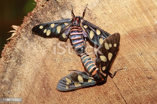 istock Two male and female Amata passalis or sandlewood defoliator mating in nature. 1166753357