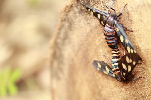 istock Two male and female moth mutterflies ( Amata passalis or sandlewood defoliator) mating in nature. 1166751407