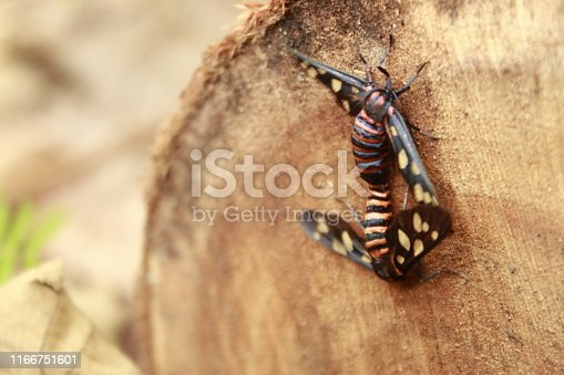 istock Two male and female moth mutterflies ( Amata passalis or sandlewood defoliator) mating in nature. 1166751601