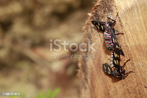 istock Two male and female moth mutterflies ( Amata passalis or sandlewood defoliator) mating in nature. 1166751872