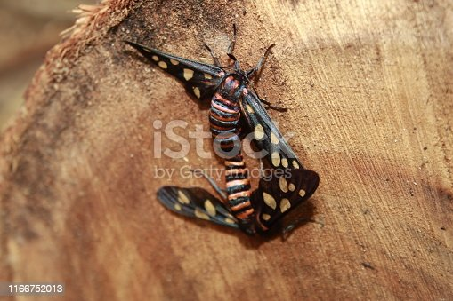 istock Two male and female moth mutterflies ( Amata passalis or sandlewood defoliator) mating in nature. 1166752013