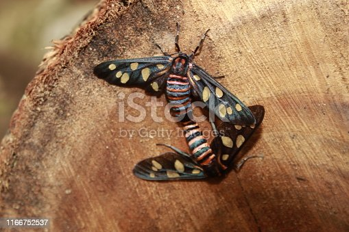istock Two male and female moth mutterflies ( Amata passalis or sandlewood defoliator) mating in nature. 1166752537