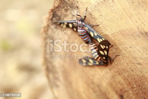 istock Two male and female moth mutterflies ( Amata passalis or sandlewood defoliator) mating in nature. 1166753132