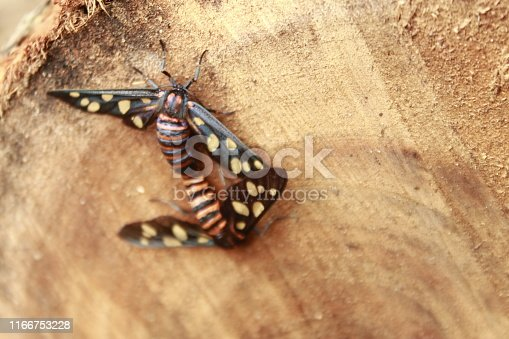 istock Two male and female moth mutterflies ( Amata passalis or sandlewood defoliator) mating in nature. 1166753228