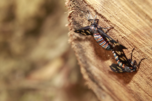 istock Two male and female moth mutterflies ( Amata passalis or sandlewood defoliator) mating in nature. 1166753255