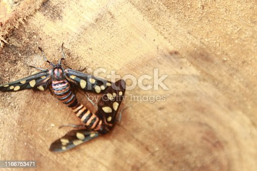 istock Two male and female moth mutterflies ( Amata passalis or sandlewood defoliator) mating in nature. 1166753471