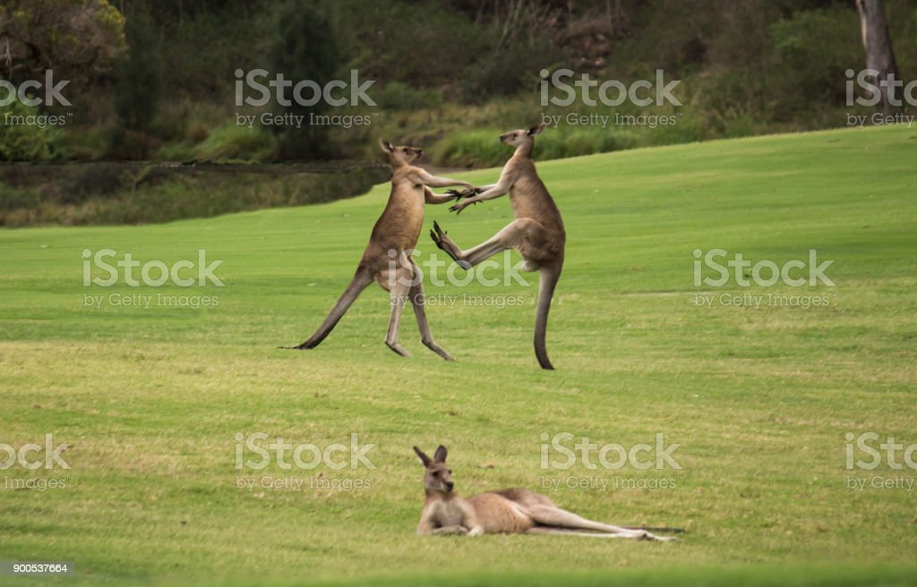 Dos canguros nativos australiano masculinos luchando en hierba campo detrás de descanso mujer canguro - foto de stock