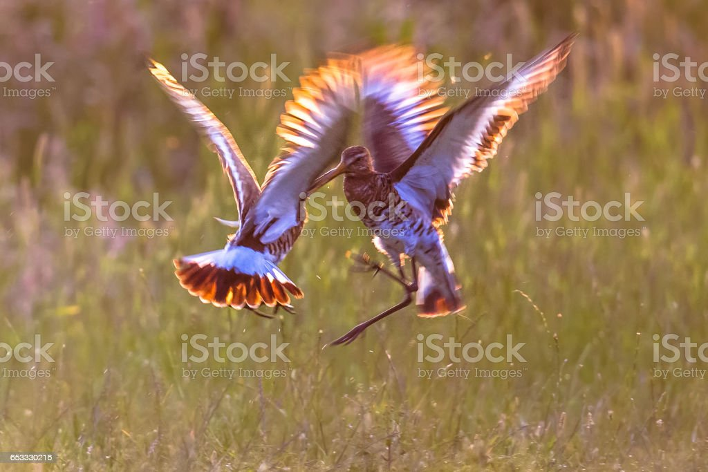 Two male Black-tailed Godwit wader birds fighting stock photo