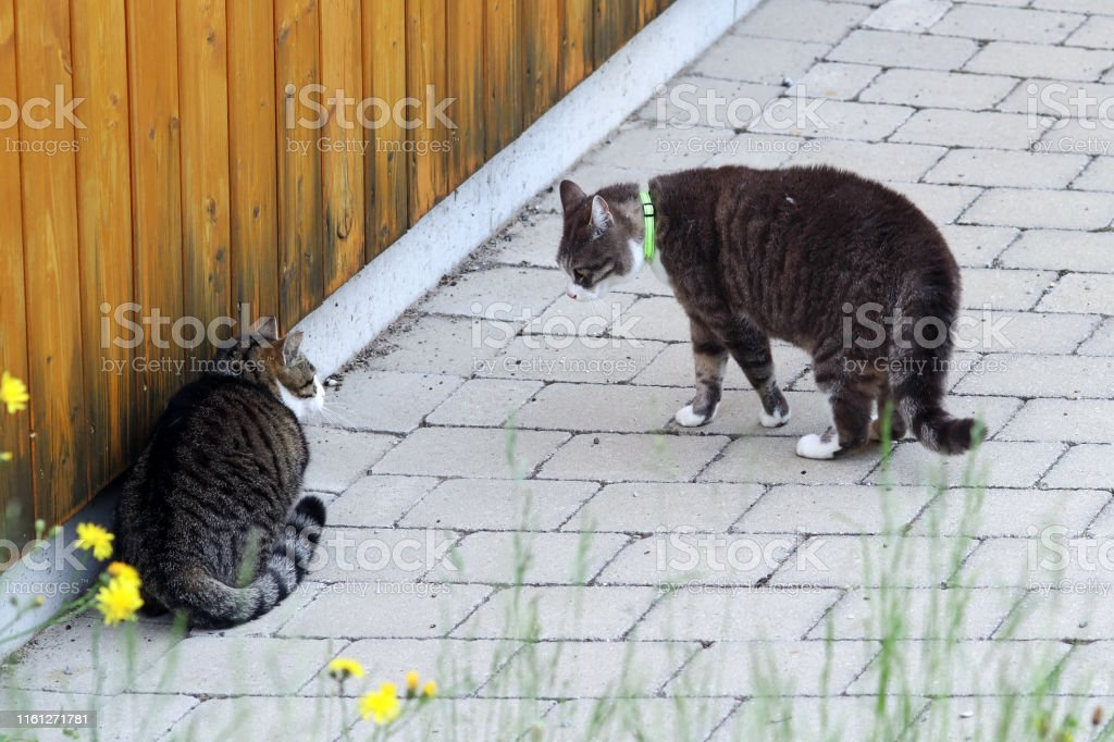 Two male cats arguing. Cattle fight among tomcats