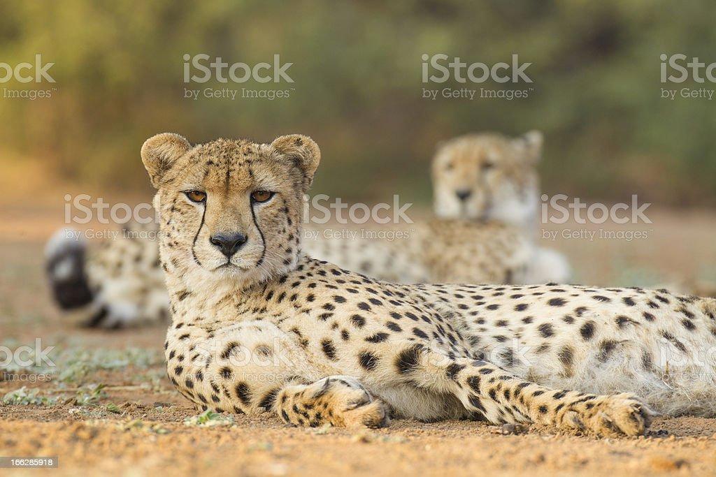 Two male Cheetah (Acinonyx jubatus) South Africa royalty-free stock photo