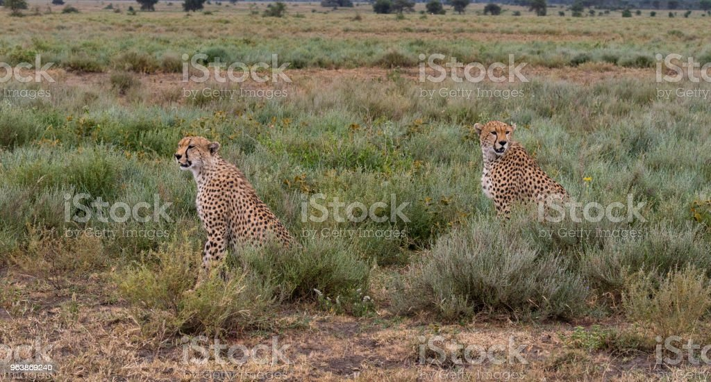 Two male Cheetahs in Africa - Royalty-free Africa Stock Photo
