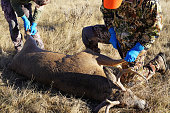 Two male deer hunters prepare to skin, dress and process the shot deer while in the field