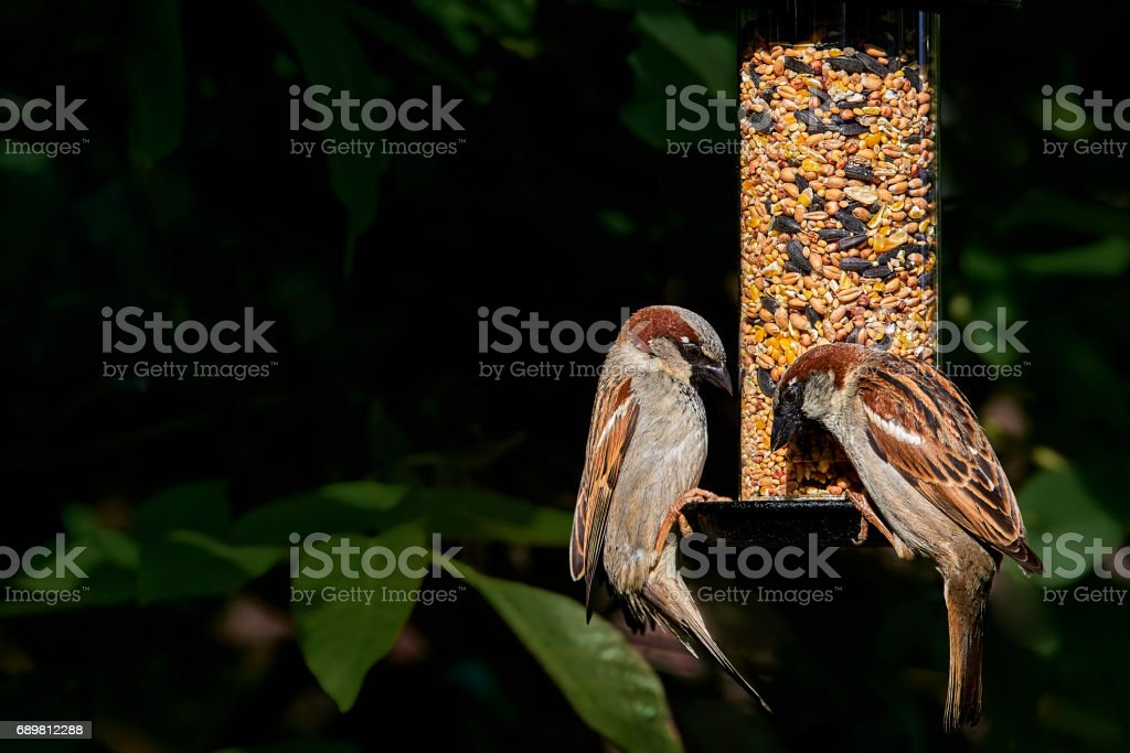 Two male house sparrows (passer domesticus) on a garden seed feeder stock photo