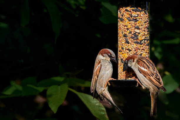 Two male house sparrows (passer domesticus) on a garden seed feeder – Foto