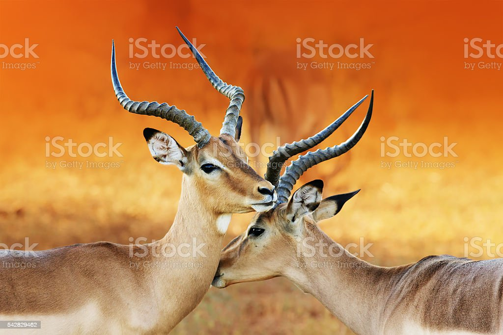 Two male impala's ( Aepyceros melampus ) stock photo