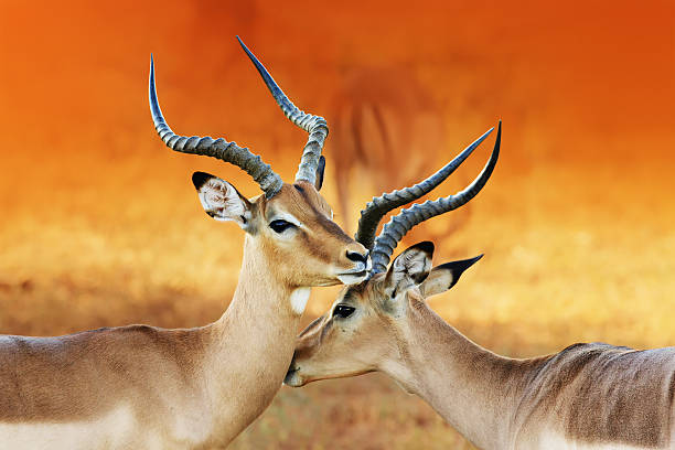 Two male impala's ( Aepyceros melampus ) Impala affection ( Aepyceros melampus ) Two male impala's having an intimate moment during a time of battle, the rutting season. namibia stock pictures, royalty-free photos & images