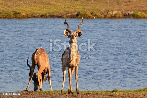Two male kudus drinking water