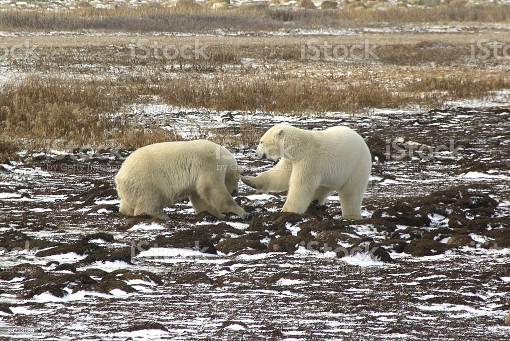 Two Male Polar Bears Fighting royalty-free stock photo