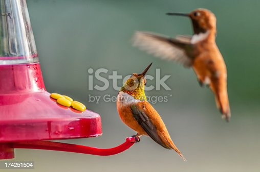 Two hummingbirds at a home feeder.  The bird on the perch looks over its shoulder to see if the other bird is a threat.  These birds inhabit the Rocky Mountains of Colorado.  The male bird on the perch displays the iridescent colors on its neck.