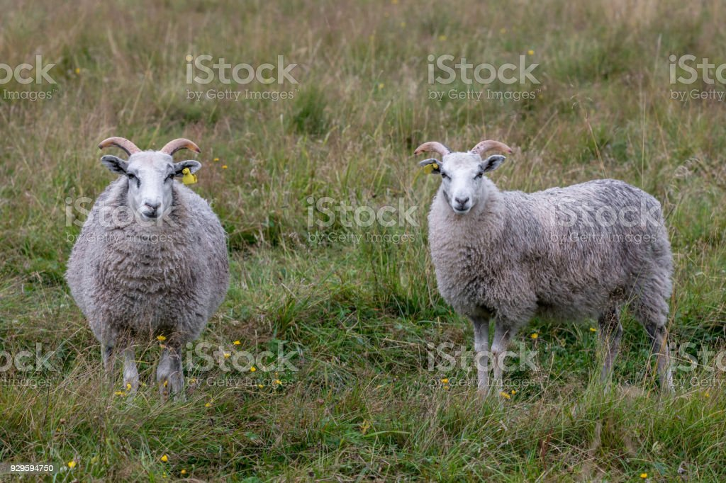 Two male sheep posing to the camera stock photo