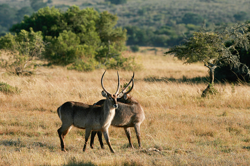 Two male waterbuck antelope in the bushveld.