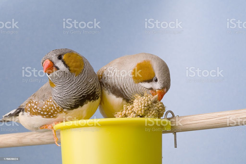 Two Male Zebra Finches stock photo