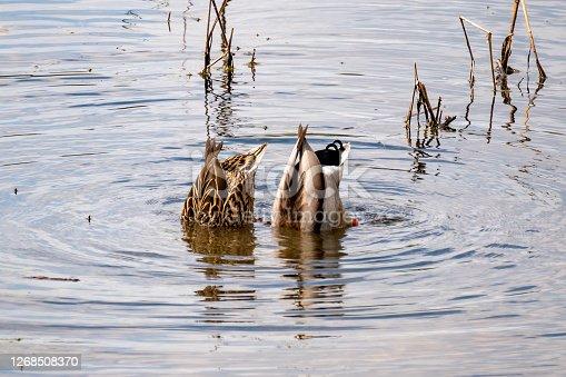 istock Two mallard ducks diving 1268508370