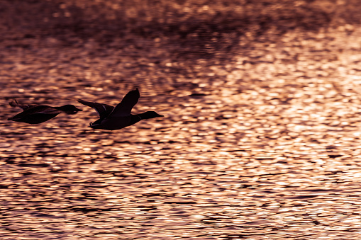Two mallard ducks flying above lake at the sunset