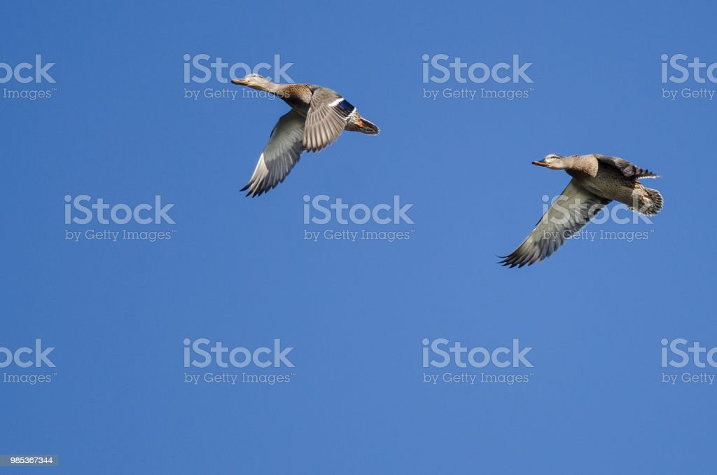 Two Mallard Ducks Flying In A Blue Sky Stock Photo More Pictures