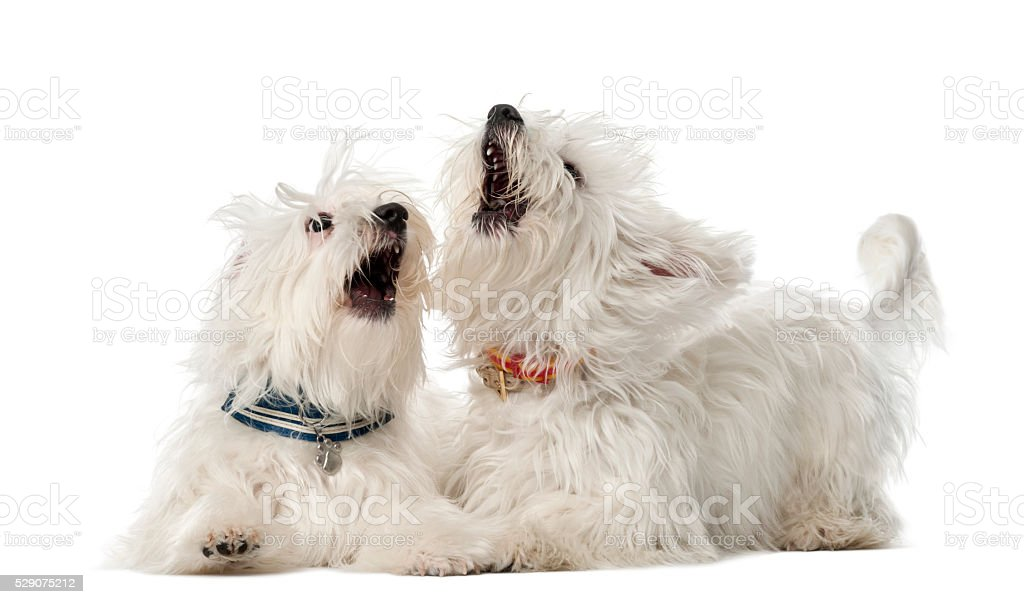 Two Maltese dogs, 2 years old, lying and play fighting stock photo