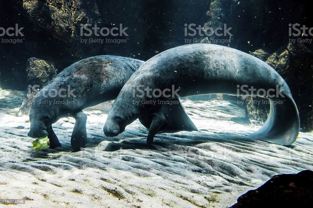 Two Manatee - Sea Cows royalty-free stock photo