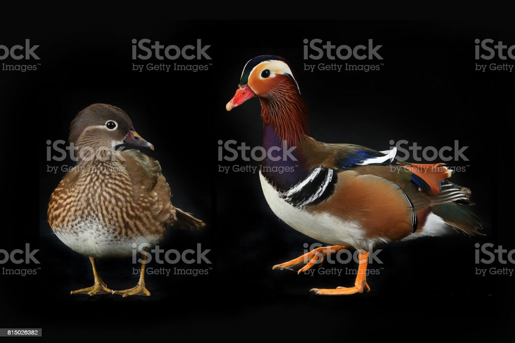 Two Mandarin Ducks Male And Female Royalty Free Stock Photo