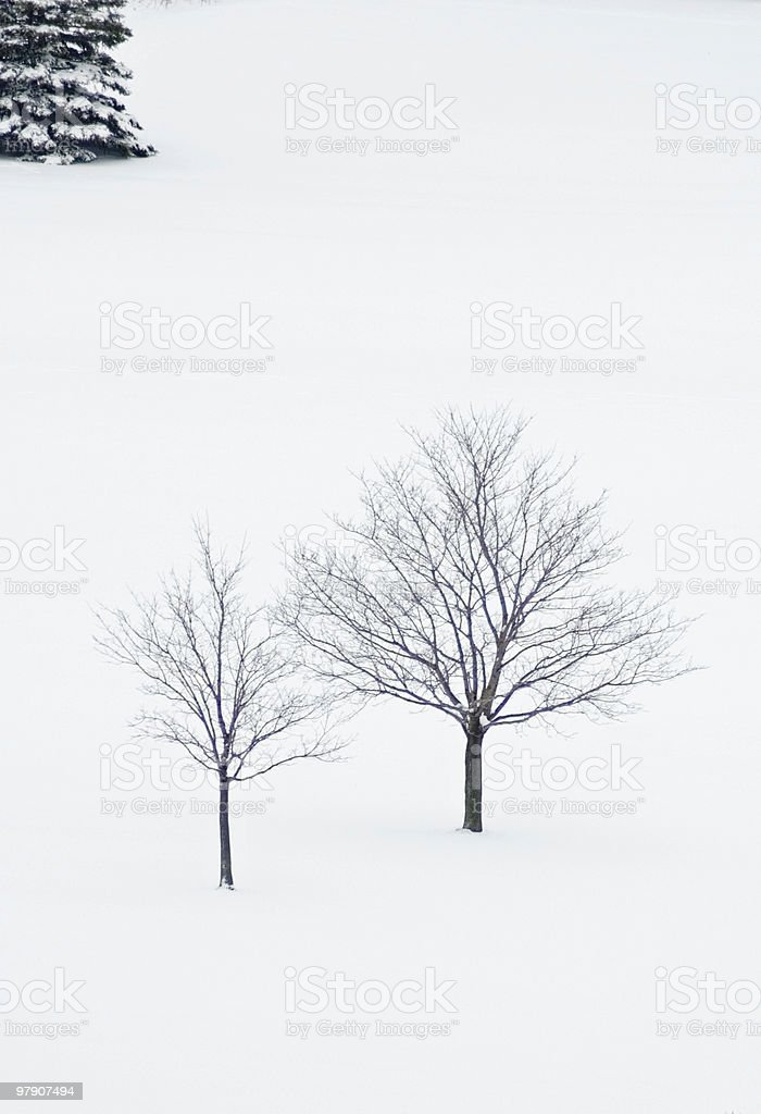 Two maple trees royalty-free stock photo